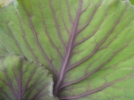 Veiny cabbage leaves