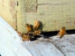 honeybees at their hive, enjoying the sun