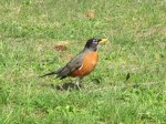 the robins are out in full force