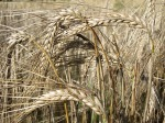 Grains II