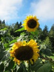 Sunflower couple