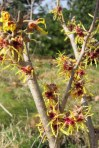 Witch Hazel in bloom, and quite fragrant