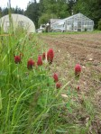Nitrogen-fixing crimson clover lines the fields