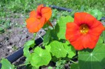 Edible nasturtium flowers add amazing flavour and visual appeal to salads, and they're also great garnishes for desserts.