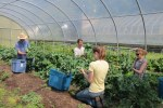 Harvesting kale from the hoop house