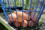 Eggs waiting to be washed
