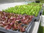 Lettuce plugs being hardened off for transplanting