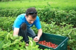 Art (awesome Urban Farmers volunteer) picking strawberries